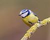 Plain and Simple (Andrew Haynes Wildlife Images) Tags: bird wildlife bluetit warwickshire canon7d ajh2008