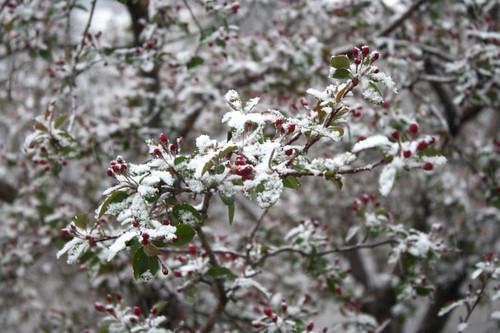 crabapple-snow1