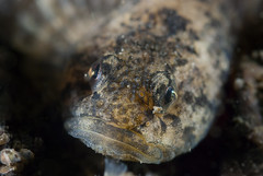 Freshwater bullrout (Cottus perifretum) (Arne Kuilman) Tags: portrait fish macro face night nacht 60mm vis freshwater nightdive spiegelplas nachtduik 14xteleconverter bullrout donderpad kleinedonderpad cottusperifretum freshwaterbullrout