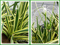 Collage of Hymenocallis caribaea 'Variegata'