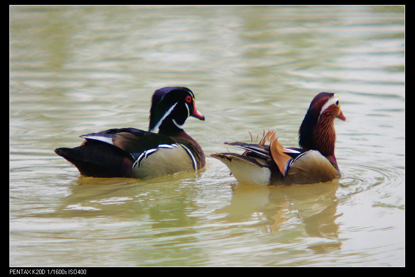 2011/04/14 Kilfitt 450mm f5.6 八德埤塘生態公園-美洲木鴨!