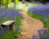 The Woodland Path  ( 2009 ) (Andrew Haynes Wildlife Images) Tags: nature bluebells woodland northamptonshire cotonmanor canon40d ajh2008