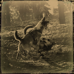 (sommerpfuetze) Tags: 2 texture dogs animal sepia square fight play battle hund rudi rudifriends nachmittagsspiele