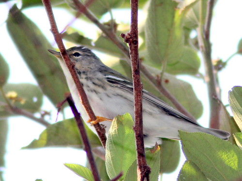 Blackpoll Warbler female 20110414