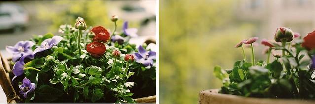 doubleflowers
