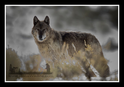 Gray Wolf  041511-4686-W.jpg by RobsWildlife.com © TheVestGuy.com