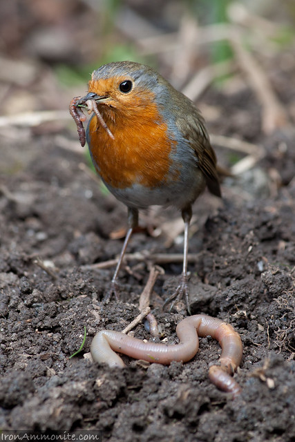 Robin wondering of he can handle the big worm