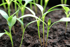 Pepper seedlings, close-up (!.Keesssss.!) Tags: nature netherlands horizontal closeup pepper outdoors photography leaf stem day mud nopeople growth seedling freshness gettyimages beginnings selectivefocus vegetablegarden royaltyfree colorimage theflickrcollection keessmans 229ksgetty