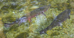 Speckled Trout... in the river (Dora 139) Tags: fish nature water river wasser trout speckled