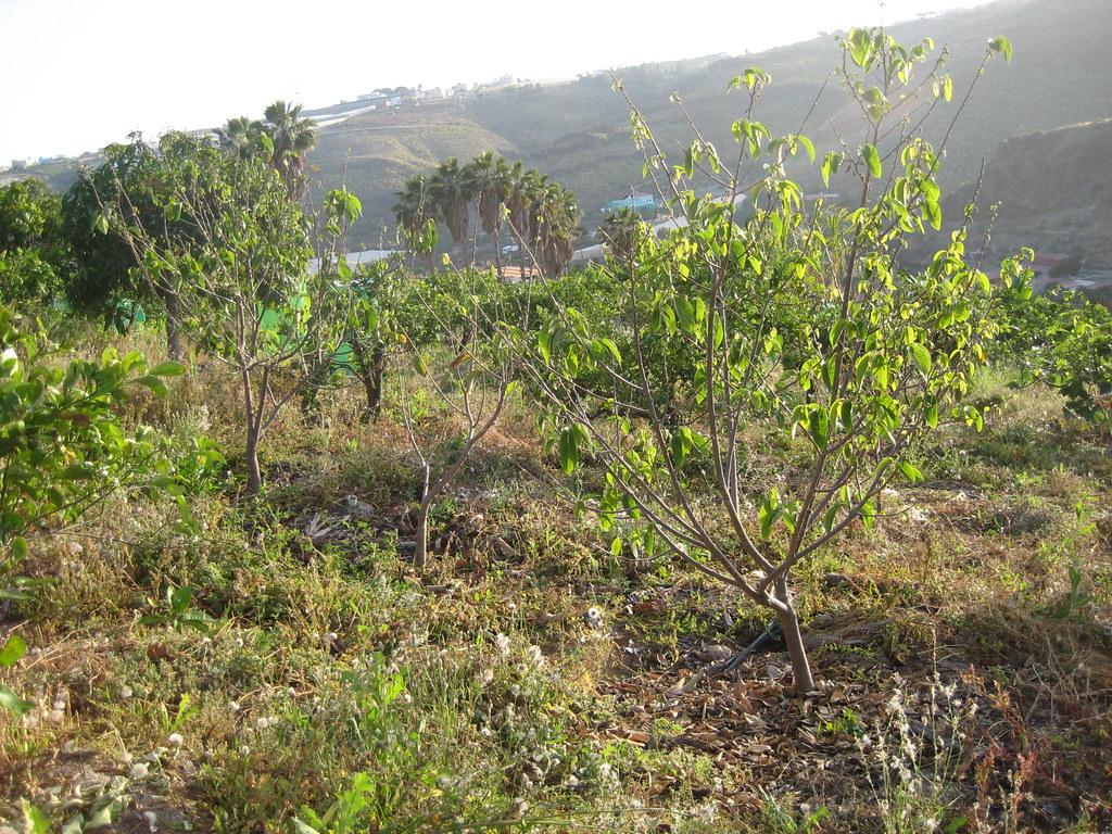 Annona cherimola cv Fino de Jete