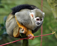 Common Squirrel Monkey (Foto Martien) Tags: brazil holland peru netherlands dutch french zoo ecuador colombia venezuela arnhem nederland bolivia guyana ape paraguay primate aap veluwe suriname dierenparkwissel epe dierentuin gelderland tropicalrainforest wissel amazonbasin saimirisciureus primaat guiana cebidae commonsquirrelmonkey macacodecheiro northernsouthamerica a550 southamericansquirrelmonkey martienuiterweerd martienarnhem grijsgroendoodshoofdaapje sony70300gssmlens sonyalpha550 mygearandme mygearandmepremium mygearandmebronze mygearandmesilver mygearandmegold monoardillacomn mygearandmeplatinum mygearandmediamond fotomartien singecureuilcommun zoowissel gewhnlichetotenkopfaffe samiricommun smallnewworldprimate