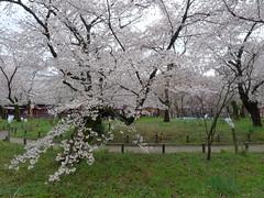 P1030733 (yhshangkuan) Tags: japan spring kyoto blossom bloom  cherryblossom sakura   fullbloom 2011 hiranoshrine apr9