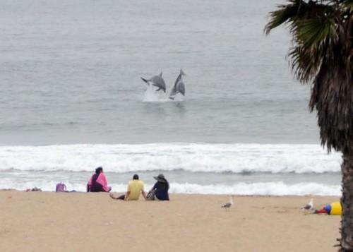 Dolphins in Venice Beach