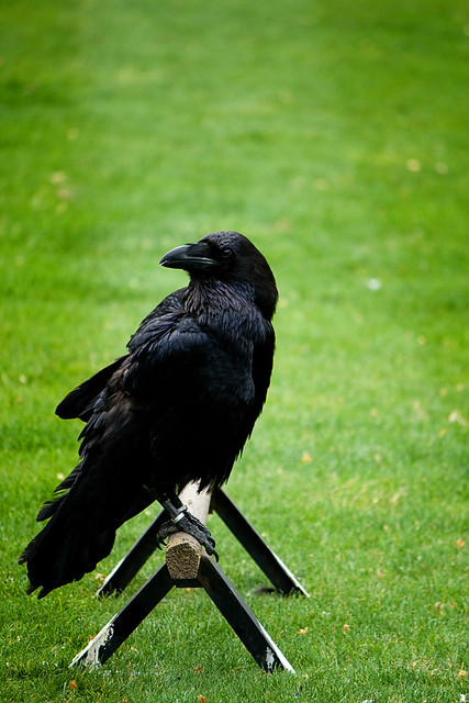 london - tower raven