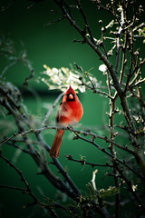 Cardinal (Carlos Rubin Photography) Tags: red bird rojo cardinal pajaro