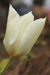 Warm White after the Rain (Apricot Cafe) Tags: wedding portrait white flower male green love church beauty smiling yellow japan female asian japanese groom bride couple lifestyle happiness romance tulip weddingdress cheerful youngadult yokohama横浜 canonef1635mmf28liiusm kanagawa神奈川 thechurchofjesuschristoflatterdaysaints末日聖徒イエス・キリスト教会 modelreleasereadybrideandgroom
