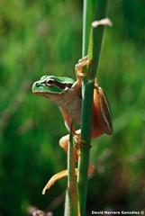 Hyla arborea (David Herrero Glez.) Tags: de san frog amphibians antonio arborea hyla ranita anfibios anuros anure