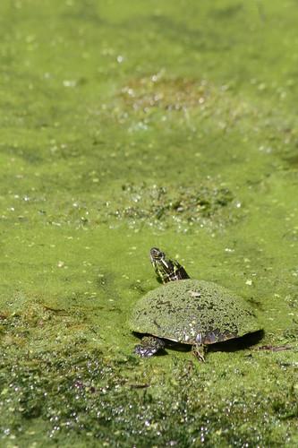 Algae Turtle