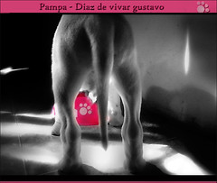 Pampa Dogo Argentino 14 - Diaz de vivar gustavo (Diaz De Vivar Gustavo) Tags: parque dog love argentina animal puppy that de la is friend eva flickr buenos aires 14 el lick bulldog gustavo fotos cachorro wound companion footprint estacin pampa calles noble diaz dogo sra ranelagh hajduk faithful argentino able the vivar mygearandme mygearandmepremium mygearandmebronze mygearandmesilver mygearandmegold caraceristicas