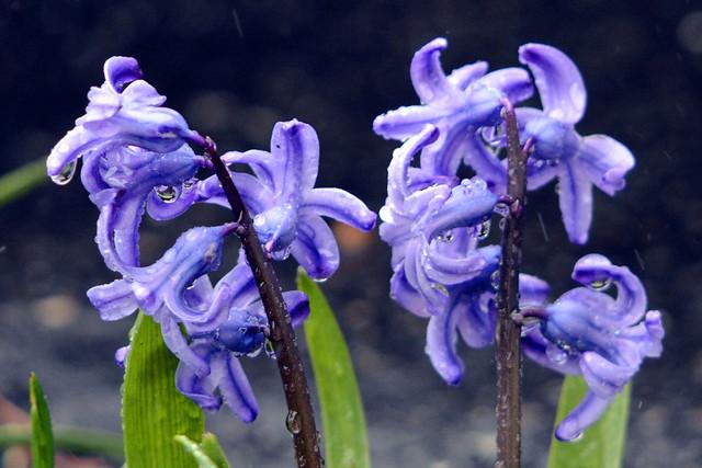 flowers rain IV