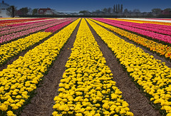 Ocean Of Colors (DolliaSH) Tags: trip travel vacation holiday holland color tourism colors canon photography photo topf50 europe foto tour place tulips photos nederland thenetherlands visit location tourist journey fields destination traveling visiting topf150 topf100 70200 topf200 touring keukenhof tulpen tulipaner zuidholland tulipes tulipán lisse tulpaner tulipani southholland 50d tulbid tulppaanit visitholland canoneos50d canonef70200mmf4lisusm tulipány laleta 100commentgroup dollias doublyniceshot dolliash dolliasheombar