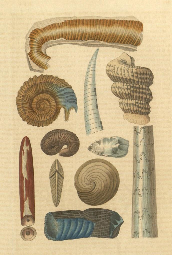 Belemnite, Conilite, Ammonite, Orbiculine, Scaphite, Baculite, Hamite, Amplexe, Turrilite