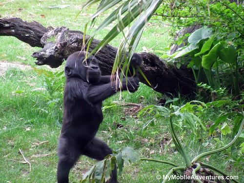 IMG_5317-WDW-DAK-baby-gorilla-tree