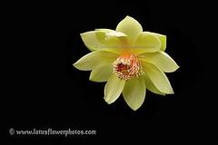 Lotus Flower # 51 (Amazing Tan Photos) Tags: flowers meditation  macrophotography   flordelotus lotusflowers flowerphotography fiorediloto hoasen   lotosblume bungateratai lotusflowerpictures   kwiatlotosu lotusflowerimages lotusblomst lotusflowerphotos fleurdeloto flordeloto lotusbloem lootuskukat lotosovkvty lotusblommorlotusblomster buddhistsymbol