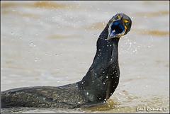 20110423-0618 Double-crested Cormorant (Earl Reinink) Tags: cormorant waterfowl doublecrestedcormorant earlreinink wwwearlreininkcom wwwipaintca