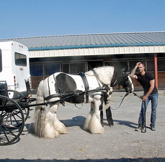 (The Pelton Vanners Gypsy Vanner Horses) Tags: horse gypsy pelton gypsyvanner gypsycob