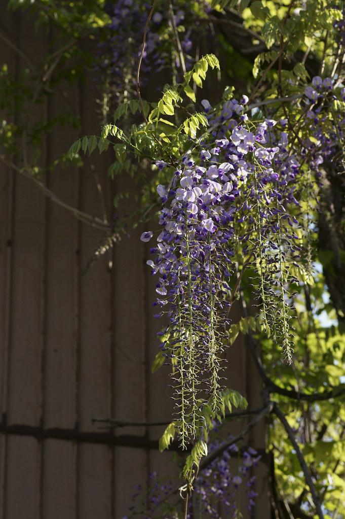 Wisteria floribunda 4