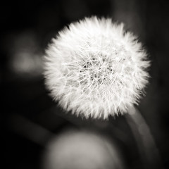 Secret Garden (Marc Benslahdine) Tags: macro nature square lightroom pissenlit dentdelion canonef100mmf28macrousm canoneos50d marcopix marcbenslahdine marcopixcom grainepissenlit