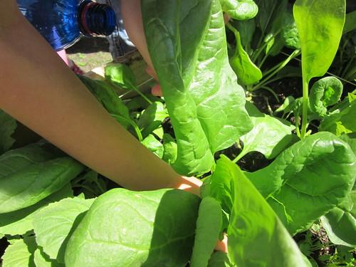 Raccolta degli spinaci 18