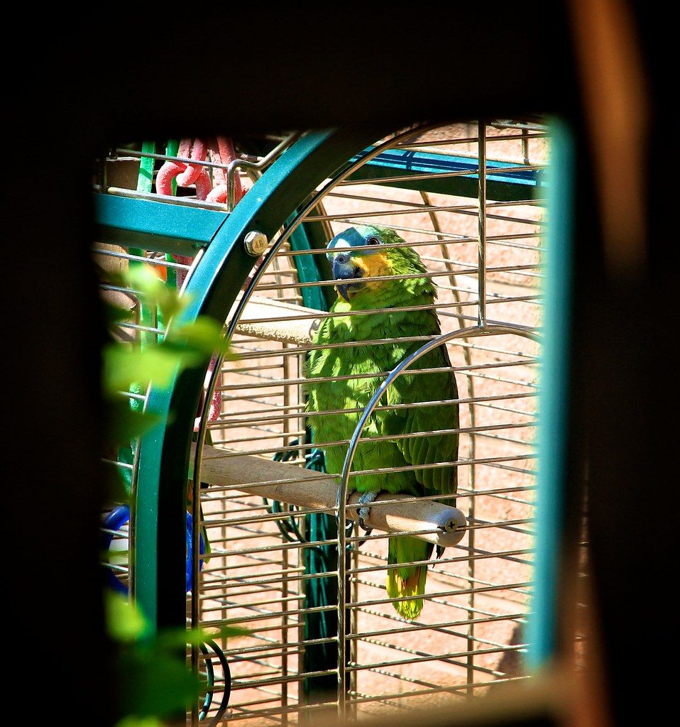 Neighbour's parrot through the fence