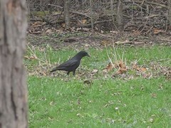 Crow vs Toad MVI_0952 (Ted_Roger_Karson) Tags: toad vs crow canonsx10is