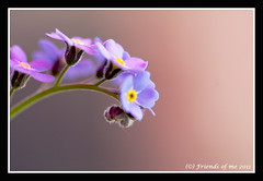 forget me not flower macro (drbob97) Tags: blue flower macro me up canon focus blauw close purple bokeh 100mm forget paars bloem drbob nietje isusm vergeet platinumheartaward doublyniceshot mygearandme mygearandmepremium mygearandmebronze mygearandmesilver drbob97