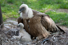 2011-04-25-11h25m14.272P6630 (A.J. Haverkamp) Tags: germany zoo vulture duisburg dierentuin gier canonef100400mmf4556lisusmlens httpwwwzooduisburgde