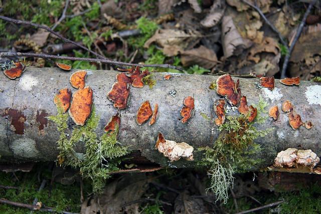 IMG_3613 fallen tree fungus