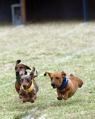 Weiner Dog Races in Buda (James Tarver) Tags: red dog pet brown white black cute male love feet leather animal standing hair puppy nose miniature nice eyes furry soft closed sitting texas sad looking legs affection sweet background coat tag side tail small smooth adorable ears canine mini dachshund sleepy short doggy pup breed collar weiner rare buda isolated purebred mygearandme
