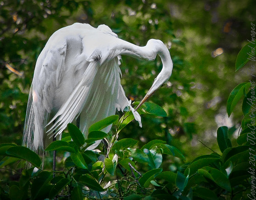 Great Egret plucking his own feathers_MG_6091 by Against The Wind Images