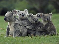 [フリー画像] 動物, 哺乳類, コアラ, 201105060100