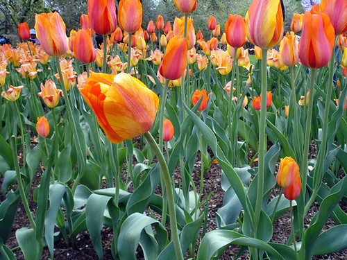 Orange flower dipping