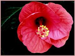 insider ( the-best-is-yet-to-come ) Tags: digitalcameraclub fantasticflower abigfave wonderfulworldofflowers rubyphotographer