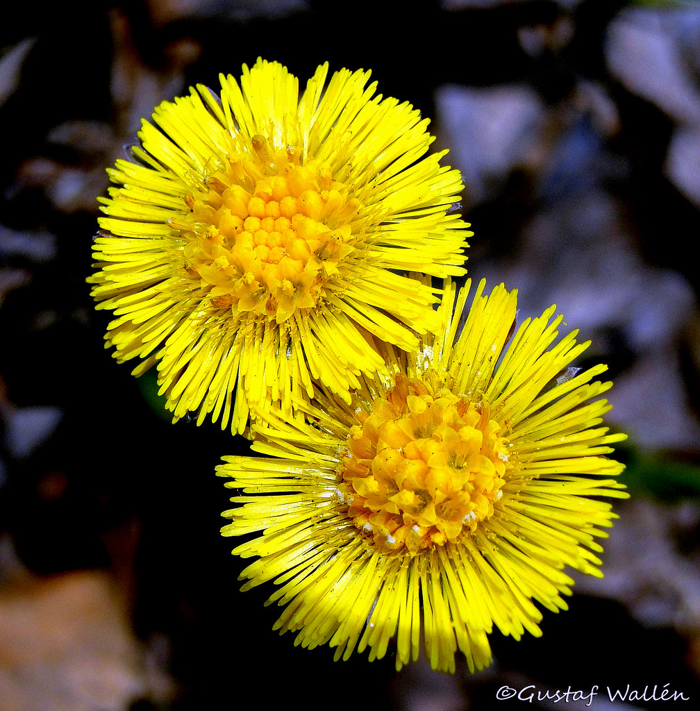 Coltsfoot is real spring flower for Scandinavia!