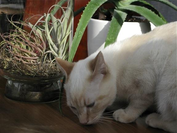 mingus white siamese cat air plant 003