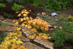 More Dreamin' (jacki-dee) Tags: back maple japanesemaple acer orangedream momji maplevalleynursery