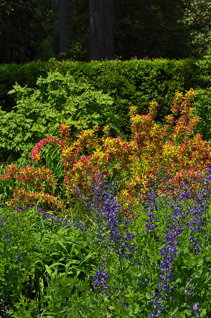 Baptisia x 'Purple Smoke' and Weigela florida 'Rubidor'