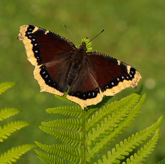 Camberwell Beauty / Mourning Cloak - Nymphalis antiopa (Pete Withers) Tags: england english beauty butterfly insect nikon mourning wildlife butterflies lepidoptera peter papillon pete british cloak insecte camberwell withers d300 2011 mourningcloak camberwellbeauty nymphalis lpidoptre nymphalisantiopa antiopa mygearandme petewithers peterwithers petewithersbutterflies