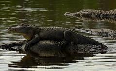 Staying On Top Of Things (Nature Photos by Scott) Tags: usa nature geotagged orlando unitedstates florida gator alligator lazy resting gatorland scotthelfrich scotthelfrichphotographycom geo:lat=2835567956 geo:lon=8140302658