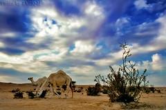 Camel HDR (TARIQ-M) Tags: sky cloud tree texture landscape sand waves desert dunes camel camels riyadh saudiarabia hdr بر الصحراء canonefs1855 جمال الرياض صحراء رمال جمل ابل رمل طعس نياق المملكةالعربيةالسعودية canon400d الرمل ناقة خطوط نفود الرمال كثبان تموجات تموج نفد جبالطويق جبلطويق